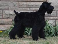 Ida is a gorgeous giant schnauzer looking for her own