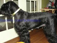 Akc signed up large schnauzer puppies. LUXI SCHEDULES