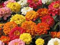 I have giant zinnia seeds 50 plus seeds. this flowers