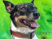 Gidget's story Gidget, the 2 year old rat terrier is
