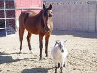 Gigi is a senior Arab mare who needs a gentle home as a