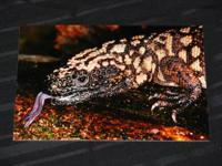 Gila Monster drinking water from a mesquite tree log...