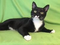 Gilderoy is a male tuxedo cat. He is very thin and
