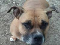 Ginger is a Boxer /Staffordshire Terrier blend around 6