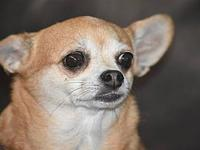 Ginger's story Ginger is an 8 year old chihuahua. She