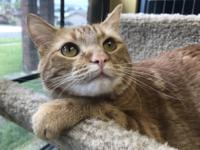 Ginger Cookie is a beautiful, orange tabby, female