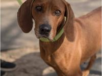Ginger is a 2 year old 45 lb. female Redbone