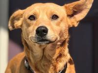 Ginger is a sweet Corgi mix who loves to be loved. She