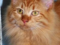 Ginger was adopted as a little kitten from an Indiana