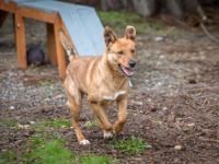 Ginger is a 2yo shepherd mix.  She came to us with a