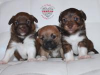 Meet Ginger Litter there are 2 boys and 1 girl. These