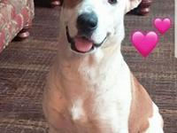 Ginger Lou is an adorable Pointer? Lab? Hound? mix who