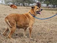 Ginger - N's story Ginger is a senior Shepherd mix in