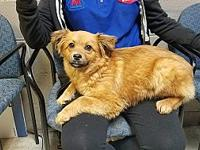 Ginger's story Ginger is a female Pom/Golden mix who is