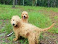 Goldendoodles from champion lines. Mother is Ginger,