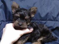Ginger the little Yorkie-poo girl has such a friendly,