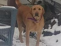 Ginger's story Ginger is a 6 year old yellow Labrador.