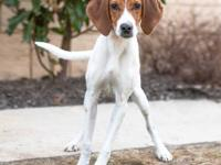 Gingerbread is a young Hound mix recently rescued from