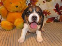 Ginny is a beautiful little tri color Beagle girl. She