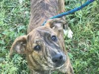 Ginny is a 4 month old 4 with red brindle and white