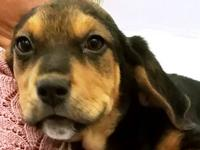 Ginny's story Breed: Coonhound mix Age: 3 months