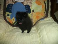 We have Pomeranian Puppies ready now for loving Pet