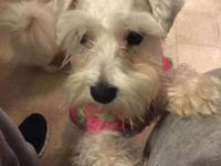 All white teacup schnauzer. Very friendly and caring.