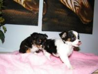 I have two BEAUTIFUL long haired Chihuahua girls! They