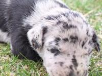 We have a beautiful lady blue merle Great Dane puppy