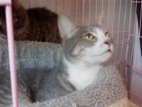 Gizmo is a handsome gray and tan tiger stripe cat with
