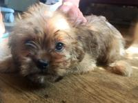 Device is a sweet and active  Shorkie(Shih Tzu-Yorkie).