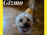 Gizmo is a 7 year old, 10 pound Yorkie mix fellow.
