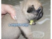 We have a litter of all Fawn Male AKC Pug Puppies born