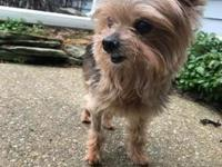 My story Teacup Yorkie alert! Gizmo is probably the