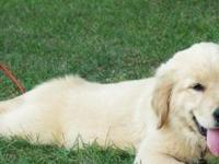 gjd   Golden Retriever  puppies