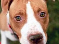 Glitter is 2 yr old Pit/Shar Pei mix girl, spayed, UTD