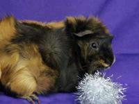 Guinea pigs are personable, communicative and enjoy