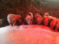 Gorgeous breeding stock available.  Black group gilts.