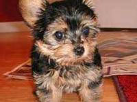 kjfjwhnlo. Purebred tiny teacup Yorkie puppies. Have