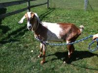 Goat - Allen - Extra Large - Adult - Male - Barnyard