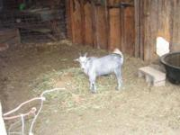 Goat - Bradly - Medium - Adult - Male - Barnyard Sweet