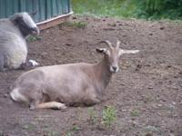Goat - Dolly - Large - Adult - Female - Barnyard Dolly