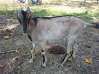 I have a male LaMancha goat for sale $65. For more