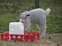 I have a male goat for sale or trade. He is blue/silver