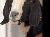 Goat - Lydia - Medium - Adult - Female - Barnyard Lydia