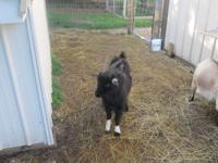 1&1/2 yr old male pygmy, still has hardware, healthy&