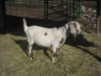 Goat - Manny - Medium - Young - Male - Barnyard Manny