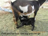 We have goat familiesa for sale. Pygmy and Mini Nubian