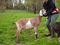 We have a 2 year old Registered Nubian Doe (female).