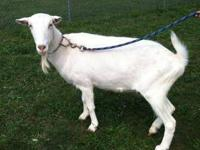 Goat - Pan - Extra Large - Adult - Male - Barnyard